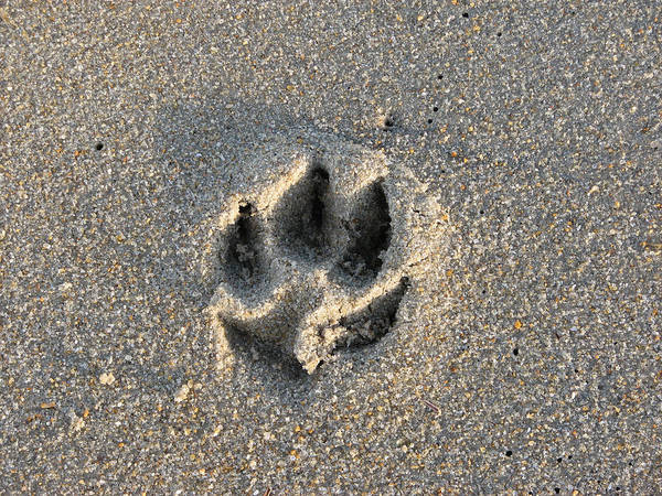 Dog Art Print featuring the photograph Pawprint In The Sand by Stacey May