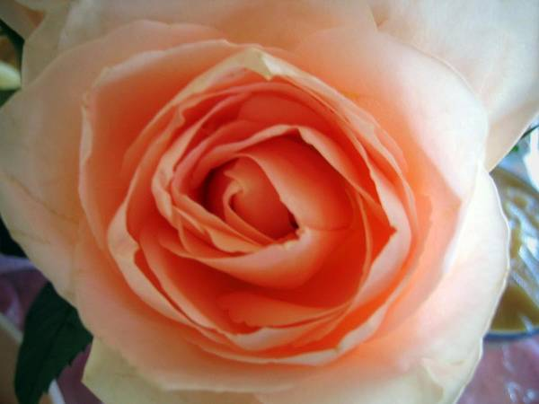 Rose Art Print featuring the photograph Peach by Bob Gardner