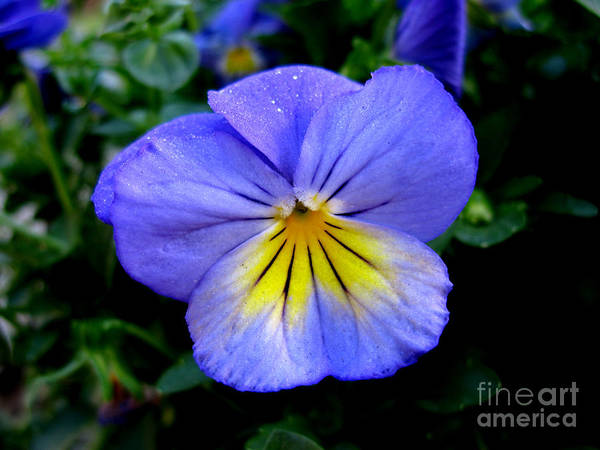 Pansy Art Print featuring the photograph Perfect Pansy by PJ Cloud