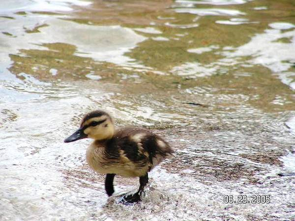 Baby Duck Art Print featuring the photograph Photography by Katina Cote