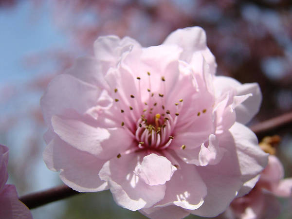 �blossoms Artwork� Art Print featuring the photograph Pink Blossom Nature Art Prints 34 Tree Blossoms Spring Nature Art by Baslee Troutman