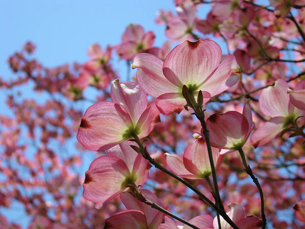 Dogwood Art Print featuring the photograph Pink Dogwood Flowers Landscape 11 Blue Sky Botanical Artwork Baslee Troutman by Baslee Troutman