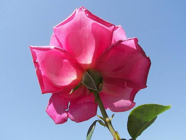 Rose Art Print featuring the photograph Pink Rose by Tong Steinle