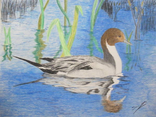 Pintail Art Print featuring the drawing Pintail Duck by Ron Sargent