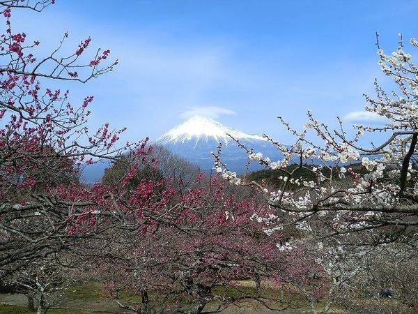 Photograph Art Print featuring the photograph Plum Blossom's At Iwamoto Japan by Janice Robertson