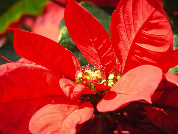 Poinsettia Art Print featuring the photograph Poinsettia by Mary Lane