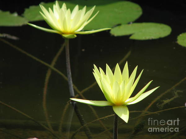 Pond Art Print featuring the photograph Pond by Amanda Barcon