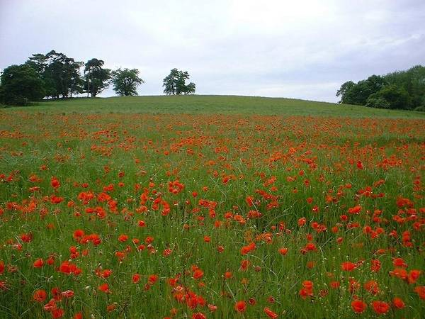 Poppys Art Print featuring the painting Poppy Fields In Suffolk by Rosemarie Perks