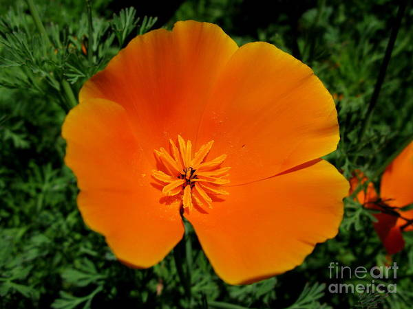Orange Poppy Art Print featuring the photograph Poppy Season by PJ Cloud