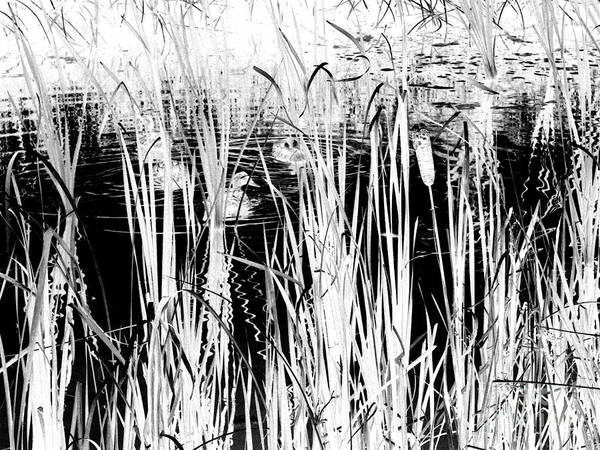 Black Ducks Art Print featuring the digital art Private Duck Swimming Hole 2 In Black And White by Elizabeth Ann Roy