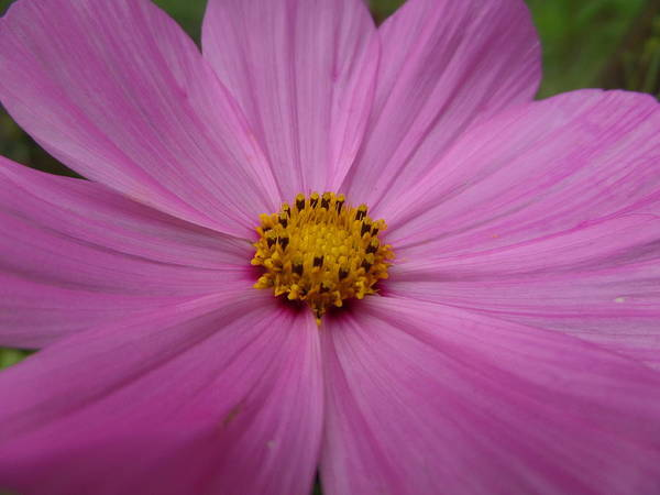 Macro Art Print featuring the photograph Purple Beauty by Alexis Ketner