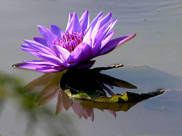 Water Lily Art Print featuring the photograph Purple Beauty On The Pond by John Lautermilch