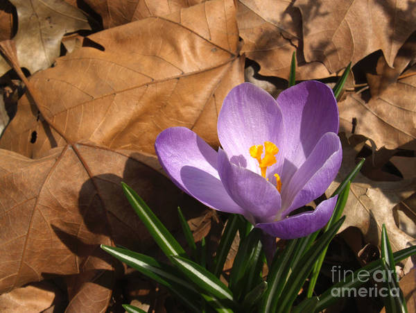 Flower Art Print featuring the photograph Purple Crocus In Dried Leaves by Anna Lisa Yoder