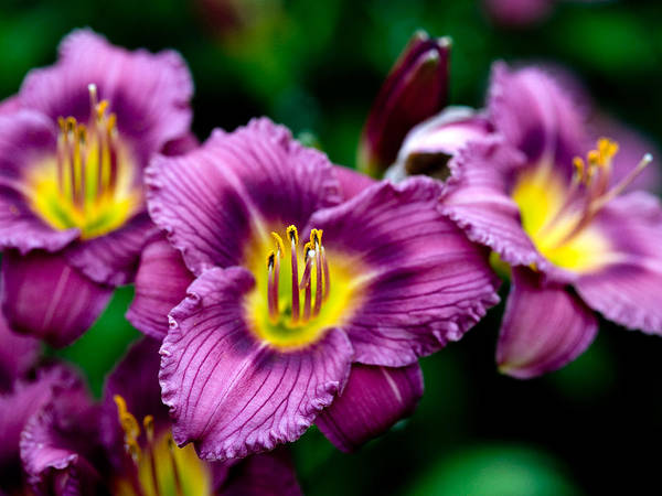 Flower Art Print featuring the photograph Purple Day Lillies by Marilyn Hunt