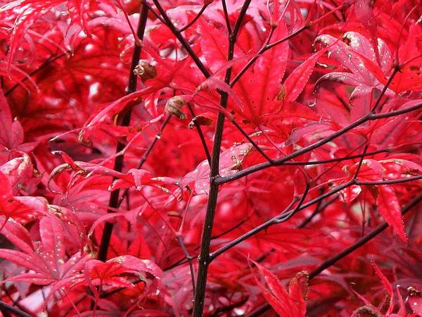 Red Art Print featuring the photograph Red Leaves And Stems 2 Pd by Lyle Crump