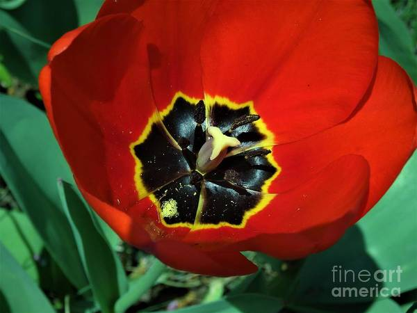 Red Art Print featuring the photograph Red Tulip by Scenic Sights By Tara