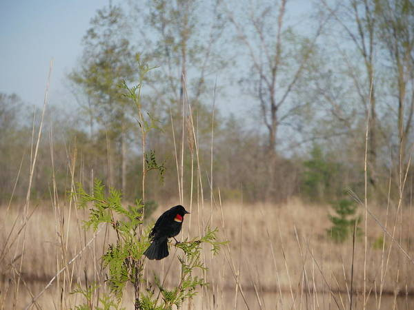 Nature Art Print featuring the photograph Red-winged Blackbird by Peggy King