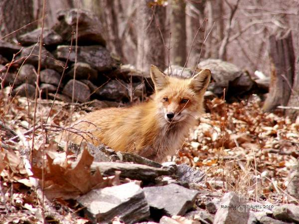 Red Fox Art Print featuring the photograph Resting Fox by Randy Ricketts