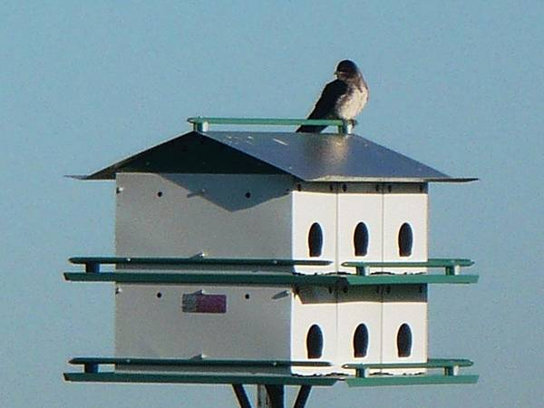 Bird Art Print featuring the photograph Return Of The Purple Martin by Jerry Browning