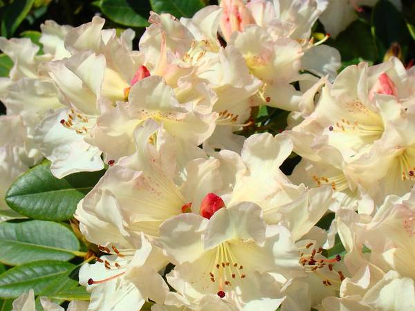 Rhodies Art Print featuring the photograph Rhododenrons Floral Art Prints Yellow Pink Rhodies Baslee Troutman by Baslee Troutman