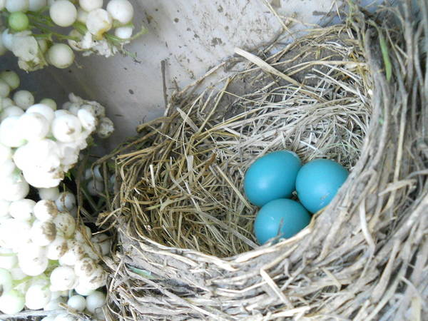 Nature Print featuring the photograph Robin Eggs In A Wreath by Marqueta Graham