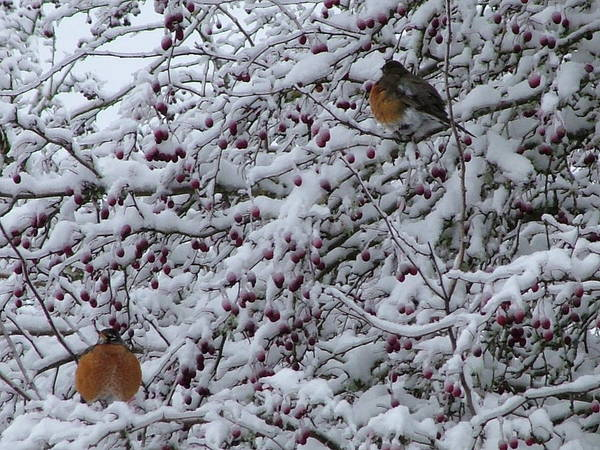 Robins Birds Nature Wildlife Snow Art Print featuring the photograph Robins In The Snow by Nick Gustafson