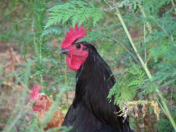 Rooster Art Print featuring the photograph Rooster by Wendy Smith