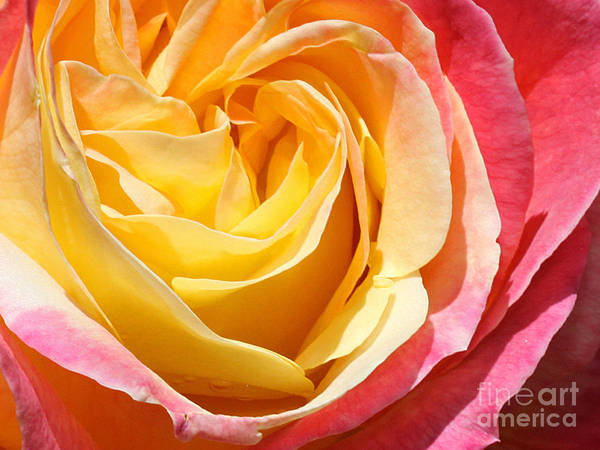 Rose Art Print featuring the photograph Rose Bloom by Edythe Heilner