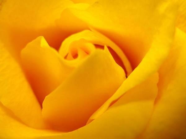 Rose Art Print featuring the photograph Rose Yellow by Rhonda Barrett