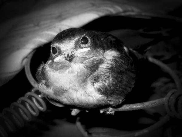 Baby Art Print featuring the photograph Rusted Perch - Baby Barn Swallow by Christena Stephens