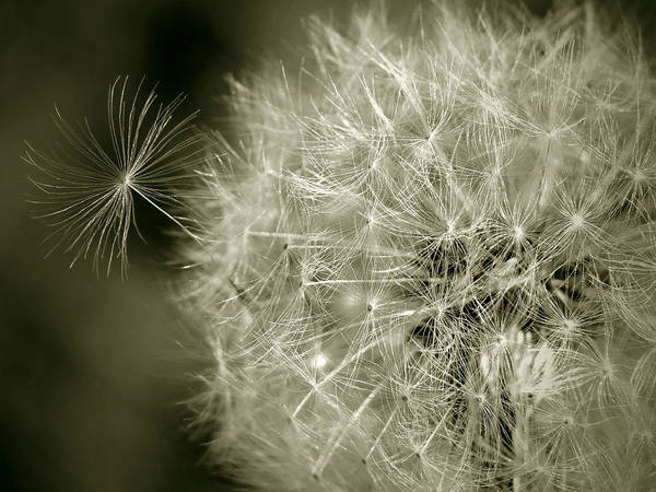 Nature Art Print featuring the photograph Seedy Dandelion by Mary Lane
