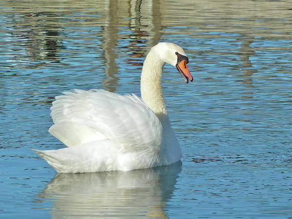 Swan Art Print featuring the photograph Showing Off by Diana Hatcher