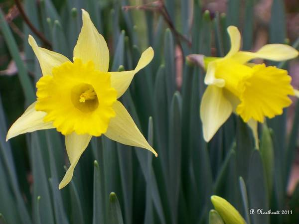 Daffodil Art Print featuring the photograph Sign Of Spring by Betty Northcutt