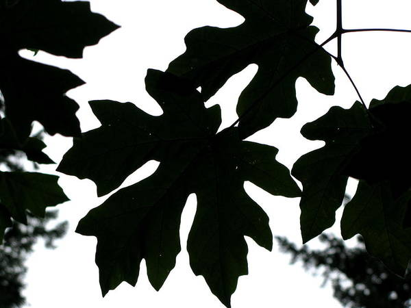Tree Art Print featuring the photograph Silhouetted Maple by PJ Cloud