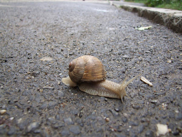 Snail Art Print featuring the photograph Snail 2 by Adrian Bud