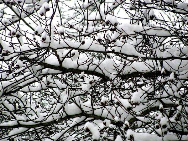 Foliage Art Print featuring the photograph Snowfall On Branches by Deborah Crew-Johnson