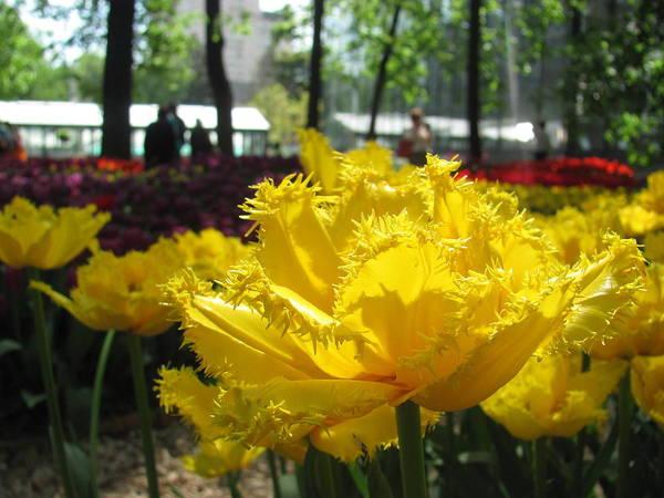 Flowers Art Print featuring the photograph Solar Tulip by Elena Saveleva