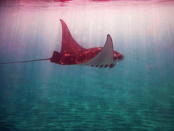 Manta Ray Art Print featuring the photograph Sun Rays On A Manta Ray by Bette Phelan