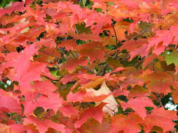 Leaves Art Print featuring the photograph Sunburst by Kelly Mezzapelle