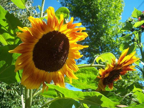 Sun Art Print featuring the photograph Sunflower 123 by Ken Day