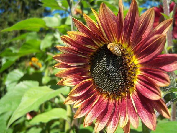 Sun Art Print featuring the photograph Sunflower 129 by Ken Day