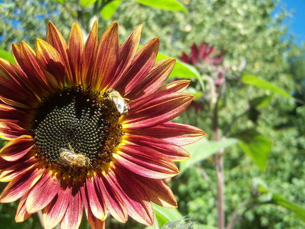 Sun Art Print featuring the photograph Sunflower 135 by Ken Day