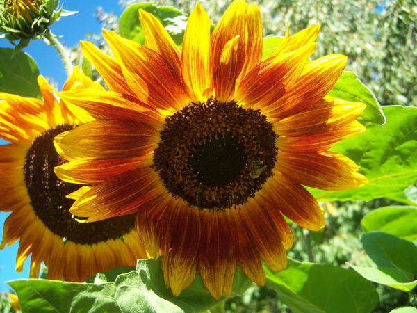 Sun Art Print featuring the photograph Sunflower 140 by Ken Day