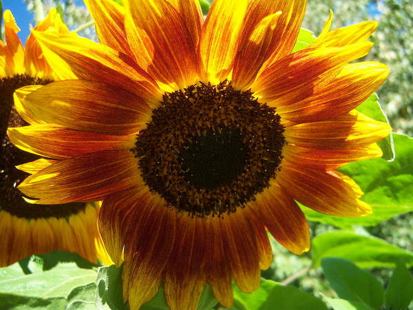 Sun Art Print featuring the photograph Sunflower 141 by Ken Day