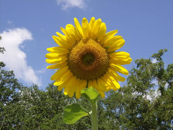 Sunflower With An Attitude Art Print featuring the photograph Sunflower by Doug Smith