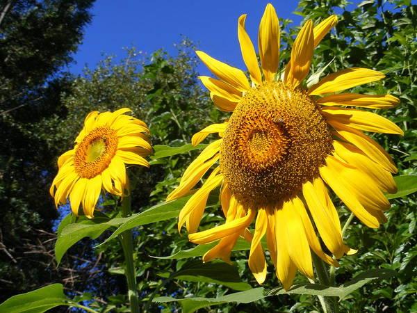 Sunflowers Art Print featuring the photograph Sunflower Garden by Gail Salitui