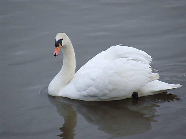 Swan Art Print featuring the photograph Swan Lake by Paul Boast
