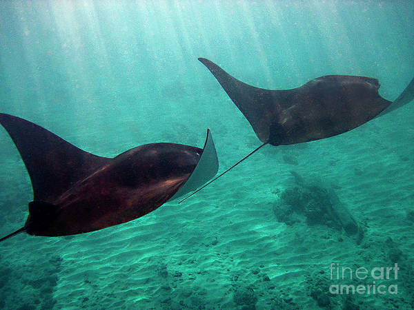 Manta Rays Art Print featuring the photograph Synchronized Swimming by Bette Phelan