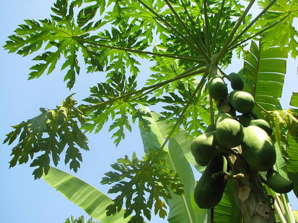 Art Print featuring the photograph The Papaya Tree 1 by GoodSiam Gallery