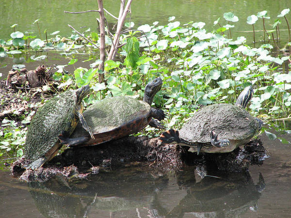 Turtle Art Print featuring the photograph Three Amigos by Stacey May